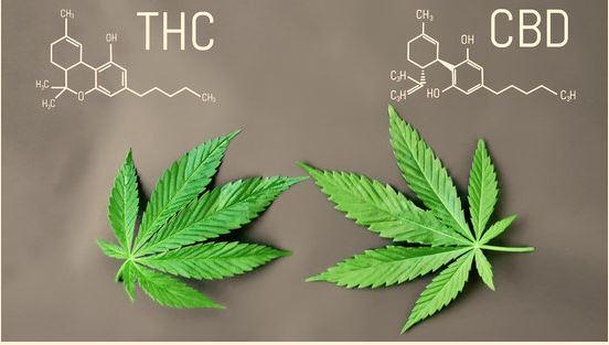 THC AND CBD Factscoops.com