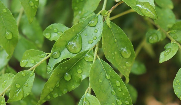 Benefits of Curry Leaves - featured